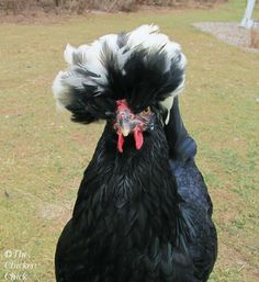 Bantam White Crested Polish hen: our 2nd one has black feathers sprinkled throughout her white ones: named speckles.