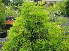 Sciad Joe Kozey - Japanese Umbrella Pine  Okay for shade and also comes in dwarf