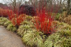 Cornus alba 'Sibirica' underplanted with Carex morrowii 'Fishers Form' in the…