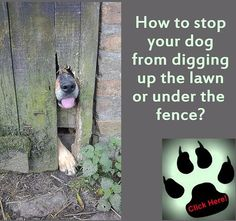 How to stop your #dog from #digging up the lawn or under the fence? http://www.bestdogfoodd.com/how-to-stop-dogs-from-digging/