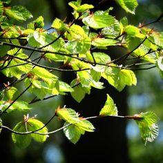 De fineste nyudsprungne bøgeblade ved Melløse Banke#fyn #nature #visitdenmark #naturelovers #natur #denmark #danmark #dänemark #landscape #nofilter #assens #mitassens #opdagdanmark #vildmedfyn #fynerfin #assensnatur #vielskernaturen #visitassens #instascandinavia #flowers #canon #natgeo #may #maj #spring #forår #instaphoto