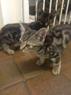 More tabby kittens