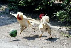 Roosters Playing Soccer