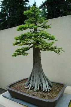 Ahuehuete Bonsai