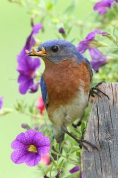 Male Eastern Bluebird with mealworms.