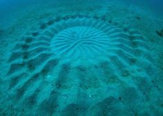 """Amazing """"art work"""" by a single fin on a puffer fish. This quote about the photo is from I Fucking Love Science on Facebook, """"It's thought to be a 'display' to attract females and/or a shield to neutralize ocean currents that could pose a threat to their young."""""""