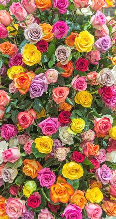 Pink yellow lilac roses iphone wallpaper background phone lock screen