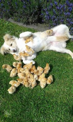 Doggie and hens