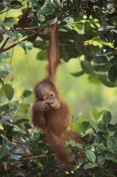 The stunning orangutans of the Sepilok Wildlife Rehabilitation Centre, Borneo
