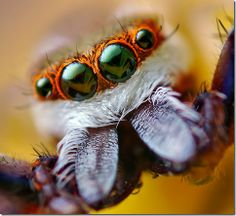 http://lh5.ggpht.com/_zYRHhKjGxJk/ScVpwARDvPI/AAAAAAAABTY/ZS4J2jG3fGQ/eye-macros-jumping-spider1_thumb%5B1%5D.jpg?imgmax=800