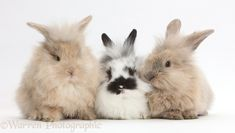 Photograph of Three cute bunnies. Rights managed white background image.