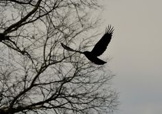 flying crow 2 by Jo Naylor, via Flickr