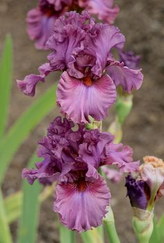 Photo of Tall Bearded Iris (Iris 'Asian Plum') uploaded by ARUBA1334