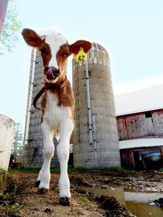Calf :) Ayrshire grass based dairy
