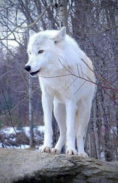 My beautiful Artic Wolf.. I will dream of you running free in the Woods...🐺🌲💜 Wolf Images, Wolf Pictures, Animal Pictures, Wolf Spirit, Wolf Stuff, Animals Beautiful, Beautiful Wolves, Majestic Animals, Types Of Animals