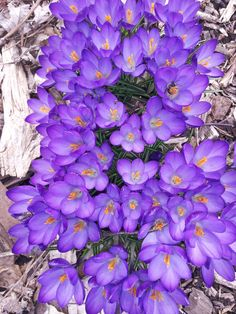 Crocus tommasinianus Ruby Giant  photo by Neal Linville