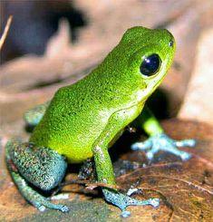 Strawberry Poison Dart Frog Oophaga pumilio Cayo de Aqua Island Panama