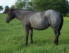 Blue Roan | Blue Roan (black-based).