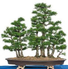 exklusive b ume bonsais online kaufen luxurytrees. Black Bedroom Furniture Sets. Home Design Ideas