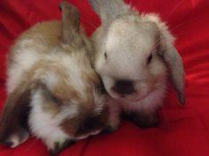 Super cute mini lop bunnies.