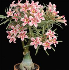 Adenium obesum 'Flower Language' from Logee's. A lovely indoor plant to add some color to your room. Needs partial sun.