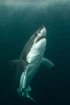 wolverxne:  Great White shark in low visbility ~ by: (Morne Hardenberg)