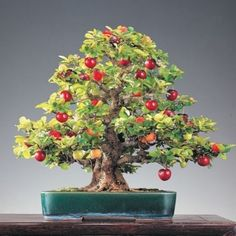 The bonsai is national art of Japan. The bonsai of a cherry tree has many namings – the Japanese cherry, east Asian cherry, an Oriental cherry, etc. There are nearly 430 grades, many of which grow in the territory of China, Japan and Korea. | eBay!
