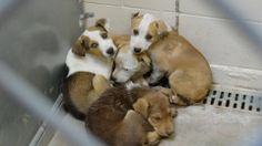 SAFE ***PUPPY ALERT***   Cage 67-Cody, Corey, Lee & Lane   Multi Pit X / Heeler A-D, M/F 3 Mos.   Intake 12/20/13 Due out 12/27/13   Roswell Animal Control  705 E. McGaffey; Roswell, NM  575-624-6722 https://www.facebook.com/photo.php?fbid=235319889969349&set=a.210352005799471.1073741841.176246809209991&type=3&theater