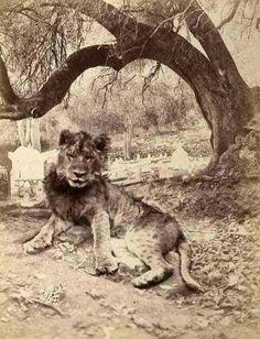 Lion de l'atlas. Alger 1875
