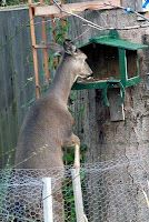 Very hunger deer!