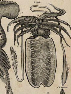 OKEN.1843.Antique LARGE printOken's Allgemeine