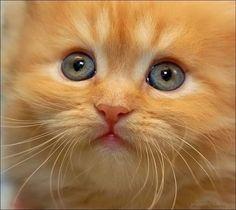 Ginger+Cat | kedi sevimli kedi fotoğrafı sevimli kedi fotoğrafları sevimli kedi ...