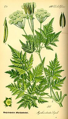 CICELY:  Its leaves are sometimes used as a herb, either raw or cooked, with a rather strong taste reminiscent of anise; it is used mainly in Germany and Scandinavia. Like its relatives anise, fennel, and caraway, it can also be used to flavour akvavit. Its essential oils are dominated by anethole. The roots and seeds also are edible. Additionally, it has a history of use as a medicinal herb.