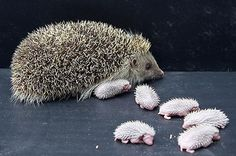 hedgehog - Поиск в Google