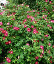 Valamonruusu, kuusitarha. VI, 150cm, vankkaoksainen. Kukat tuoksuvat hyvälle, lehdet eivät.
