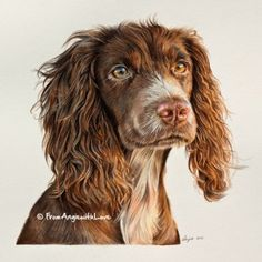 Meet Tilly, a working Cocker Spaniel, and find out how to commission a bespoke coloured pencil portrait for yourself or as a gorgeous gift. Colored Pencil Portrait, Colored Pencil Artwork, Color Pencil Art, Colored Pencils, Animal Paintings, Animal Drawings, Pencil Drawings, Wolf Drawings, Drawing Faces