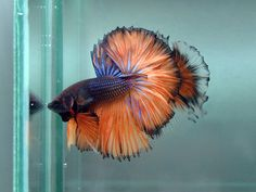Rare Betta Fish | Bettas for sale, Thailand Imports and home raised.