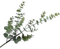 Kunstbloem Eucalyptus Edwin van Silk-Ka ✓Voor een mooi thuis ✓Online kopen ✓Gratis thuisbezorgd vanaf €20 ✓30 dagen retourrecht Ficus, Bouquet D'eucalyptus, L Eucalyptus, Plant Leaves, Plants, Edwin, Products, Artificial Flowers, Home