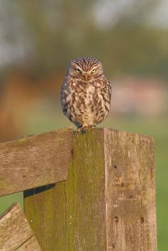 Steenuil, Little Owl