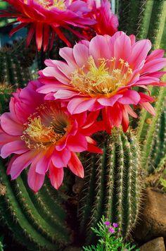 Si escogiera una flor que representa a mi Mamá esto sería una flor de cacto. El natural al Sudoeste, florece en entornos ásperos, familiares aún exótico.