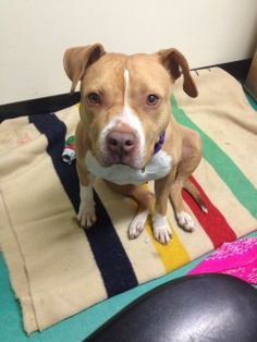 Diamond is a gem of a dog with a sparkling attitude. This radiant girl was surrendered after her owner had major surgery and could no longer care for her.  Diamond is a polished lady:  housebroken, walks great on a leash and loves spending time with...