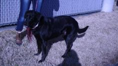 CALLING ALL PINNERS!! LOTS OF SHARES AND PINS ARE NEEDED HERE! SHELTER IS SHUTTING DOWN AND ALL DOGS WILL BE PTS IF NOT ADOPTED OR RESCUED.***WILL BE KILLED THIS WEEK!*** THERE ARE LOTS OF DOGS! this is just one! OWENSBORO, KY Daviess County Animal Shelter  270-685-8275  dcacanimals@yahoo.com Sheila - Lab, Female, 7 yrs. Spayed & UTD on shots.Needs IMMEDIATE adopter/rescue. https://www.facebook.com/photo.php?fbid=312503445564397&set=a.312505458897529.1073741917.229012927246783&type=1&theater