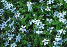 Blue Star Creeper, Isotoma Flaviatilis, stepable. part to full sun, heavy foot traffic.