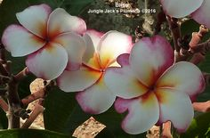 With heat, the blooms can kaleidoscope, like a mottled rainbow. Under cooler conditions, she blooms a normal pink and white. Round leaves are really pretty and shiny. Early bloomer. Semi-compact growth habit creates a really nice tree. Nicely scented.