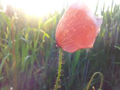 this waterdrops on that flower in the beautiful sunrise ♥