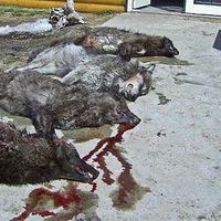 """I SIGNED. CAN YOU? It takes 30 seconds.  Remove """"Kill ALL The Wolves"""" From Facebook. The page promotes animal cruelty and mass killing of wolves. This is not humane culling.They are promoting genocide. Their goal is: """"Kill every last worthless vermin wolf!"""" This and other similar pages should be removed. Sign petition, tell Facebook you won't  support cruelty and irresponsible encouraging of wolf slaughter. It could be your dog -or your child- that some idiot shoots.Please sign and share…"""