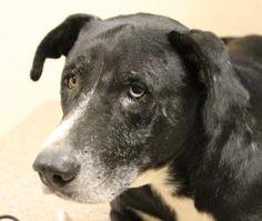 Petango.com – Meet Sam, a 8 years 2 months Retriever, Labrador / Mix available for adoption in MANY, LA