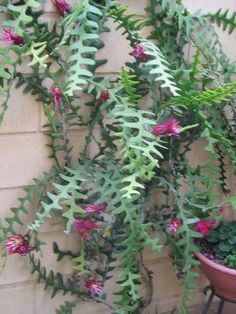 O Cacto-sianinha (Selenicereus anthonyanus) odd but neat the way it hangs down, Succulent Gardening, Cacti And Succulents, Planting Succulents, Cactus Plants, Garden Plants, House Plants, Planting Flowers, Unusual Plants, Exotic Plants