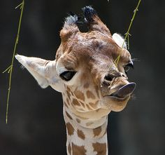 Giraffe trying to lick it's nose