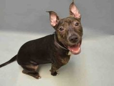 Brooklyn Center SOPHIE – A1062556 FEMALE, BLACK / BR BRINDLE, AM PIT BULL TER MIX, 7 mos OWNER SUR – EVALUATE, NO HOLD Reason PERS PROB Intake condition EXAM REQ Intake Date 01/09/2016, From NY 11212, DueOut Date 01/09/2016, Urgent Pets on Death Row, Inc
